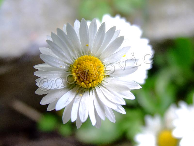 Cveće » Leptirica.com - Društvena Mreža - Upoznavanje
